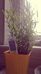 marandaelizabethlavenderplant